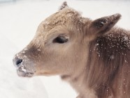 Calf in the snow captured with 35 mm camera