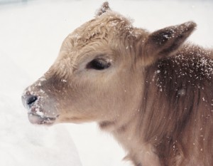 Charolais-Angus calf captured with 35 mm camera