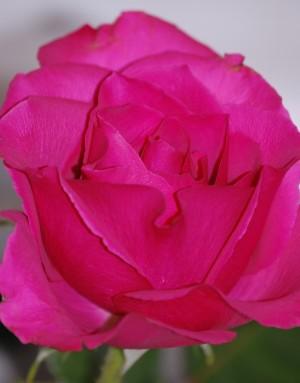Long stemmed rose