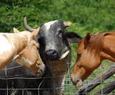 horses visit the Brahma