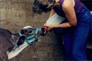 Bottling feeding calf