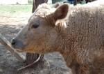 Charolais-Angus heifer