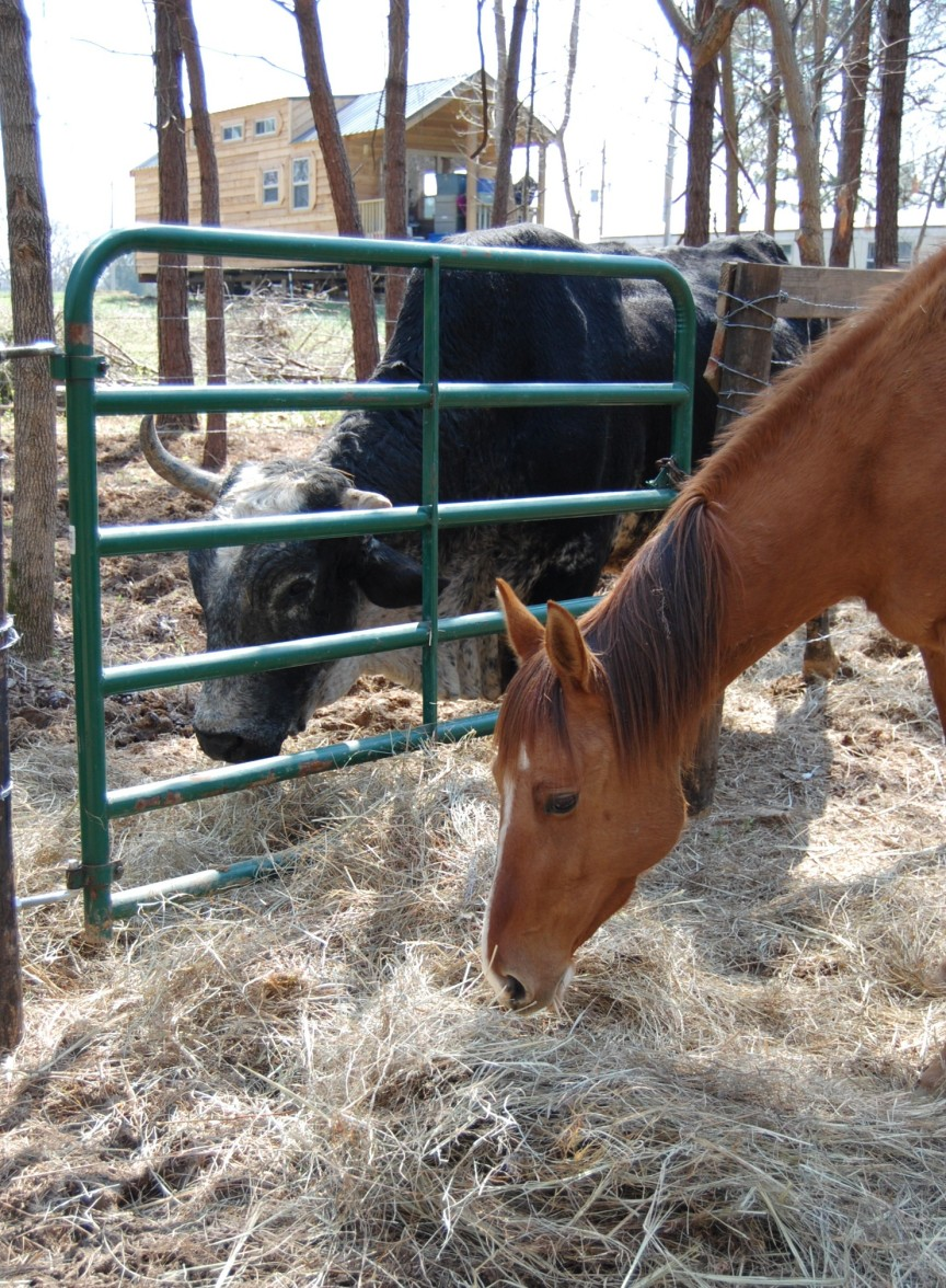 Brahma bull and Lineback dun
