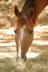 Bebe eats hay in cool of afternoon