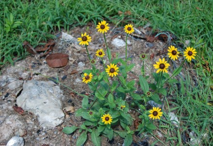 Daisies bloom in burn pile of bygone days