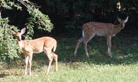 After eating crabapples off the ground twin fawns look my way