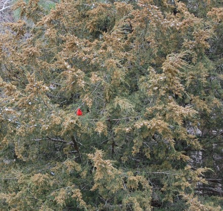 Amid cedar branches with a few snowflakes a cardinal momentarily takes refuge