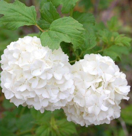 Snowball blooms brightly