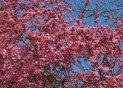 Tree top blossoms 3