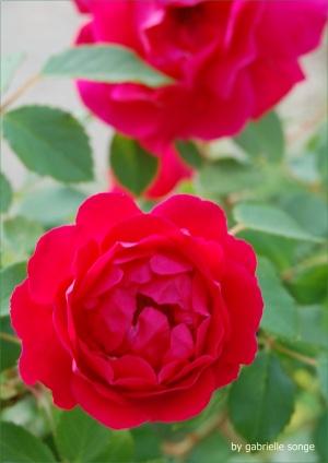 crpGood rose