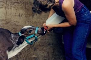 Bottle-feeding Sonny as a calf