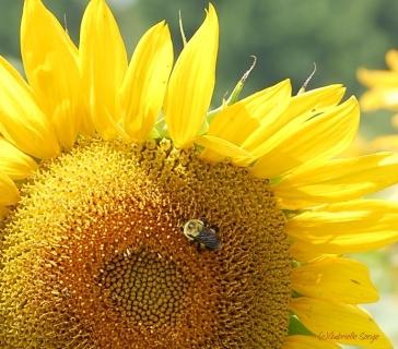 Sunflower & bee