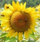 sunflower&beecropcopyrightbrown