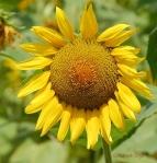 sunflowercropgoodcopyrightbrown