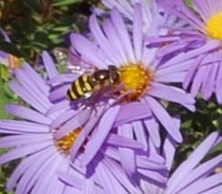 Bee gathers pollen CU